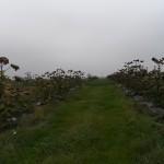 paulownia Bellissima 10