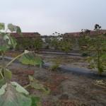 paulownia Bellissima 3