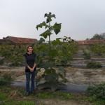 paulownia Bellissima 4