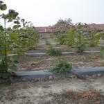 paulownia Bellissima 5