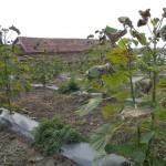 paulownia Bellissima 6