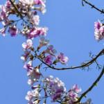paulownia cvetanje 1