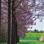 paulownia cvetanje