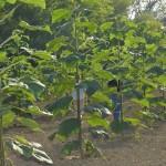 paulownia bellissia 12