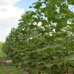 paulovnija sadnice 11