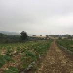 2 hektara , 1300 sadnica