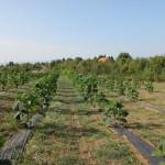 paulovnija sadnice 5