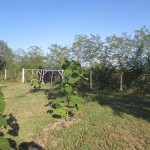 paulovnija sadnice