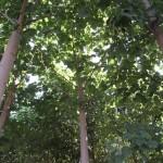 paulovnija sadnice 4